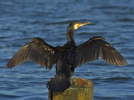 Phalacrocorax_carbo02