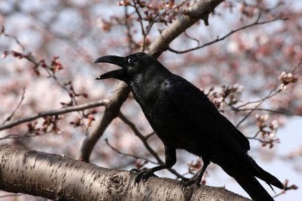 1280px-Corvus_macrorhynchos_Osaka_1