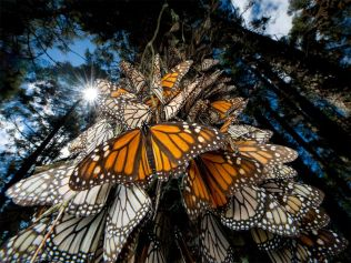 monarch-butterflies-mexico_28112_990x742