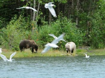 kenai-river-grizzlies