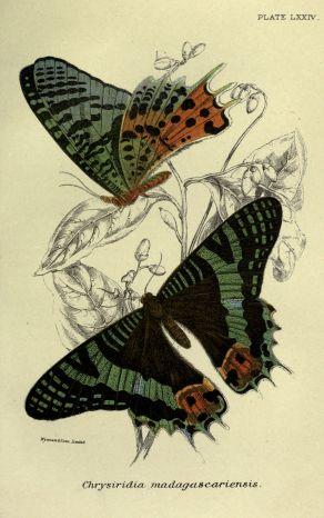 gravures_de_papillons_-_3093_chrysiridia_madagascariensis
