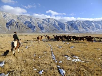 cattle-drive-600x450
