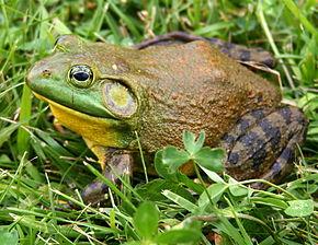 290px-North-American-bullfrog1
