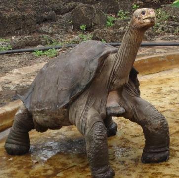 tortuga-george-galapagos-1-449x448