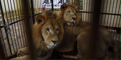 lion-attaque-doullens-buffalo-cirque-4