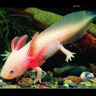 axolotl-ambystoma-mexicanum-albinos