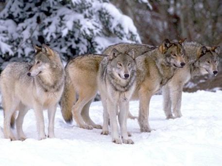 les_loups_du_yellowstone